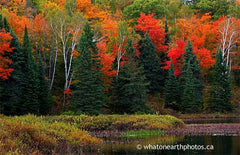 fall colour: maple, fir, birch, Parry Sound, Ontario