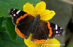 Red Admiral on Marsh Marigold, Ontario