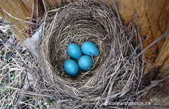 springtime blues, eggs of American Robin, Ontario
