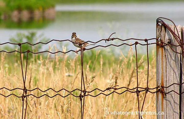 I spy, Savannah Sparrow, Ontario