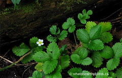 Woodland Strawberry, London, Ontario