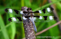 male Twelve-spotted Skimmer, Ontario
