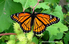 Viceroy on Rough Cocklebur, Ontario
