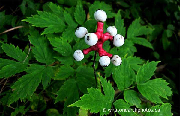 doll's eyes, White Baneberry, Ontario