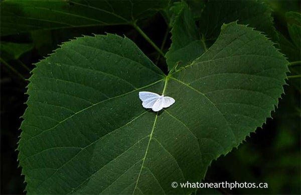 White Spring Moth on Basswood, Ontario