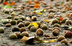acorns in a mast year, Killbear Provincial Park, Ontario