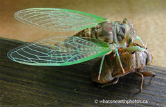 cicada freshly emerged from nymphal skin, Ontario