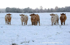 cows surprised by mid-October snow, Ontario