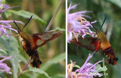hummingbird moth (Hemaris thysbe) on wild bergamot