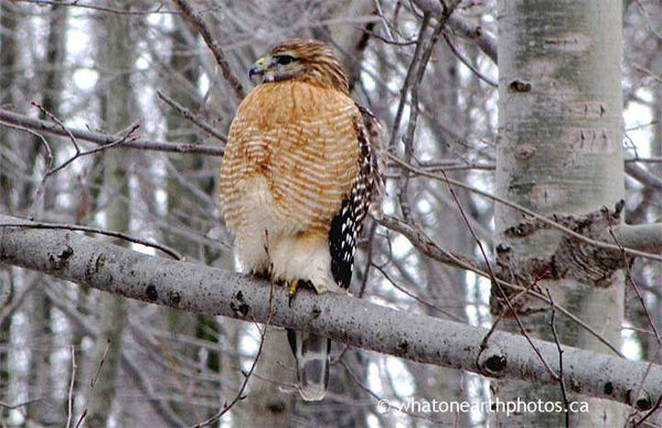 Red-shouldered Hawk, Kettle Point, Ontario