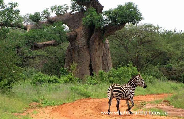 baobab tree, Tsavo West National Park, Kenya