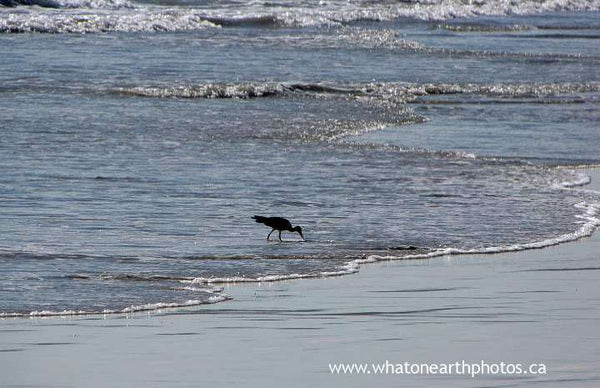 beachcombing Whimbrel, Galapagos Islands