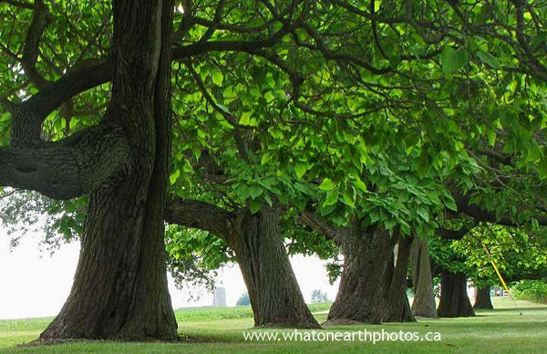 catalpa trees, Ontario