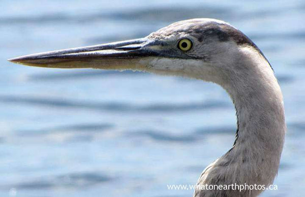 Great Blue Heron, Galapagos Islands