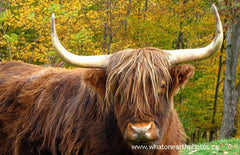 "the highland ""coo"", Elgin County, Ontario"