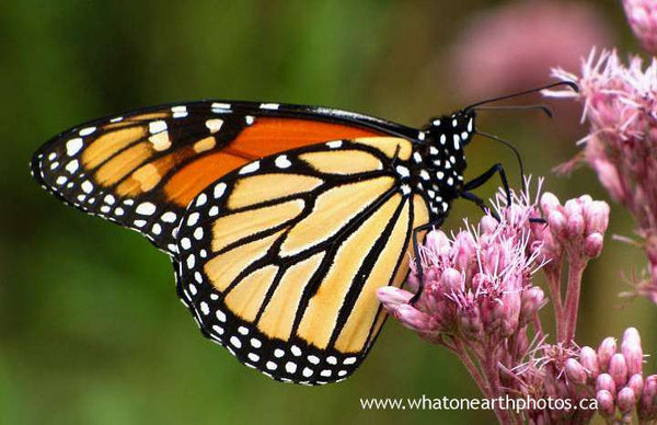 Monarch on joe-pye-weed, Ontario