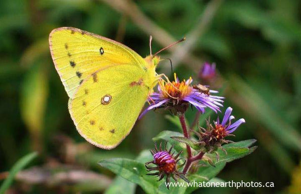 Orange Sulphur on New England Aster, Ontario