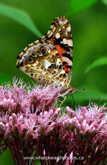 Painted Lady on joe-pye-weed, Ontario