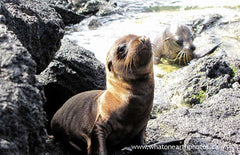 Galapagos Sea Lion pups, Galapagos Islands
