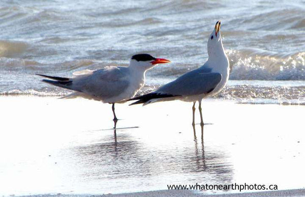 Caspian Tern and Ring-billed Gull, Ontario