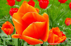 orange tulip, Ailsa Craig, Ontario