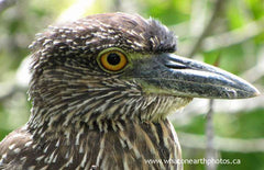 immature Yellow-crowned Night Heron, Ecuador
