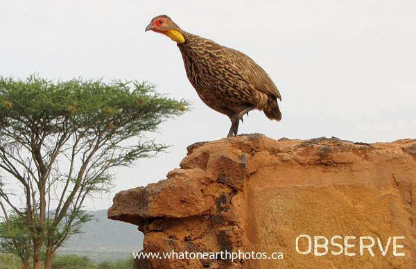 Yellow-necked Spurfowl obeying sign, Kenya