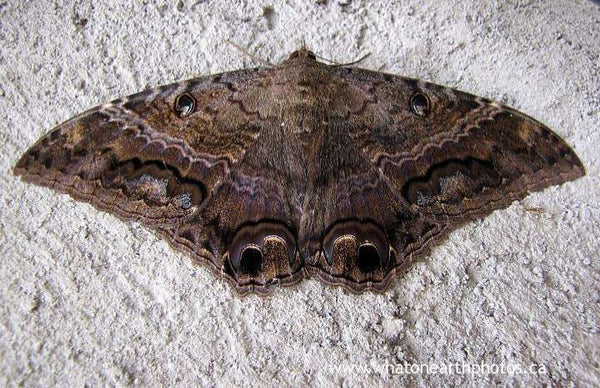 Black Witch Moth (Ascalapha odorata), Ecuador