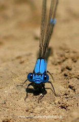 Blue-fronted Dancer (Argia apicalis), Ontario
