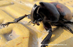 brown rhino beetle (Mitracephala humboldti)