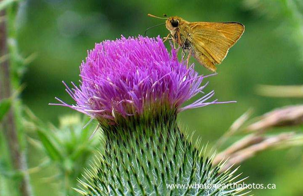 Delaware Skipper on Bull Thistle, Ontario