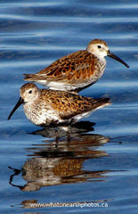 Dunlin (Calidris alpina), Kettle Point, Ontario