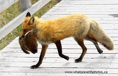 Red Fox carrying Groundhog, New Brunswick