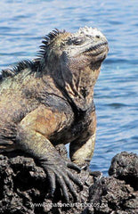 Marine Iguana basking in the sun