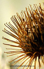 """natural velcro"" Common Burdock, Ontario"