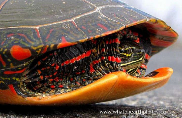 """I'm not coming out."" Painted Turtle"