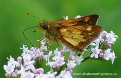 Peck's Skipper on valerian, London