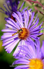 Sphaerophoria flower fly on New England Aster