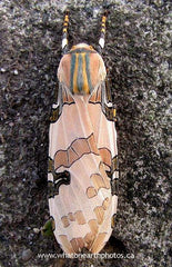 Underwood's Tussock Moth (Halysidota underwoodi)