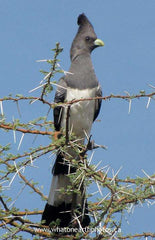 White-bellied Go-away-bird, Kenya