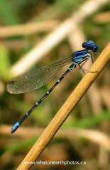 Blue-ringed Dancer (Argia sedula), Ontario