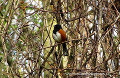 Eastern Towhee in grapevine, Ontario