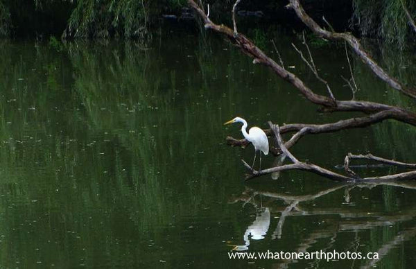 Great Egret at the coves, London, Ontario