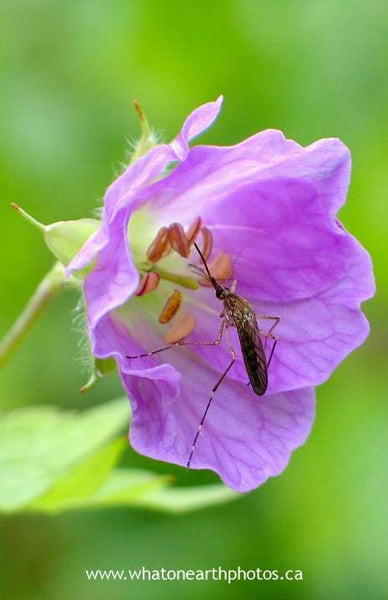 female mosquito on Wild Geranium, Ontario