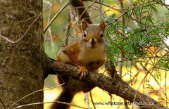 Red Squirrel (Tamiasciurus hudsonicus), Ontario