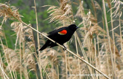 Red-winged Blackbird in Phragmites, Ontario