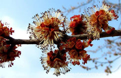 Silver Maple male flowers, Ontario