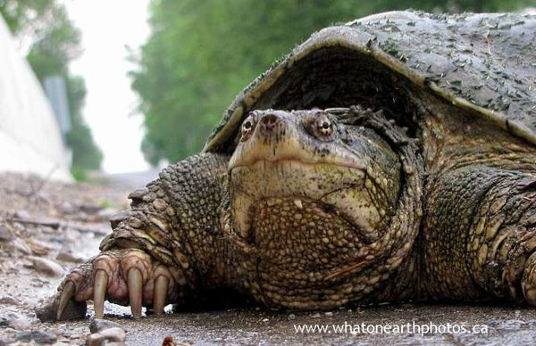 """on the road again"" Snapping Turtle (Chelydra serpentina), Ontario"