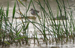 Spotted Sandpiper, Ipperwash, Ontario