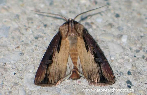 Voluble Dart Moth (Agrotis volubilis), Ontario